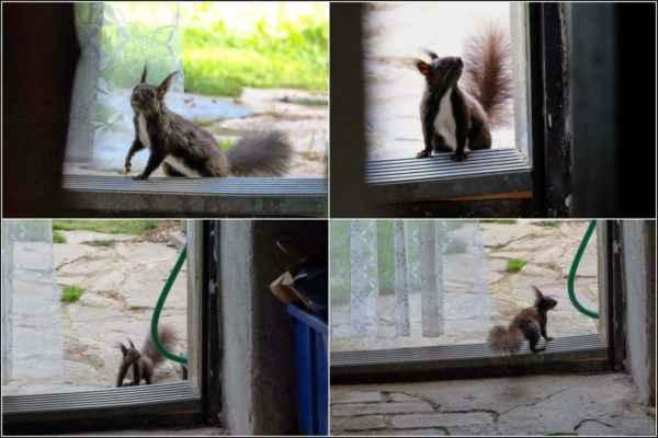 Veverka přesně věděla, kde taška s ořechy je. Chvíli váhala .........