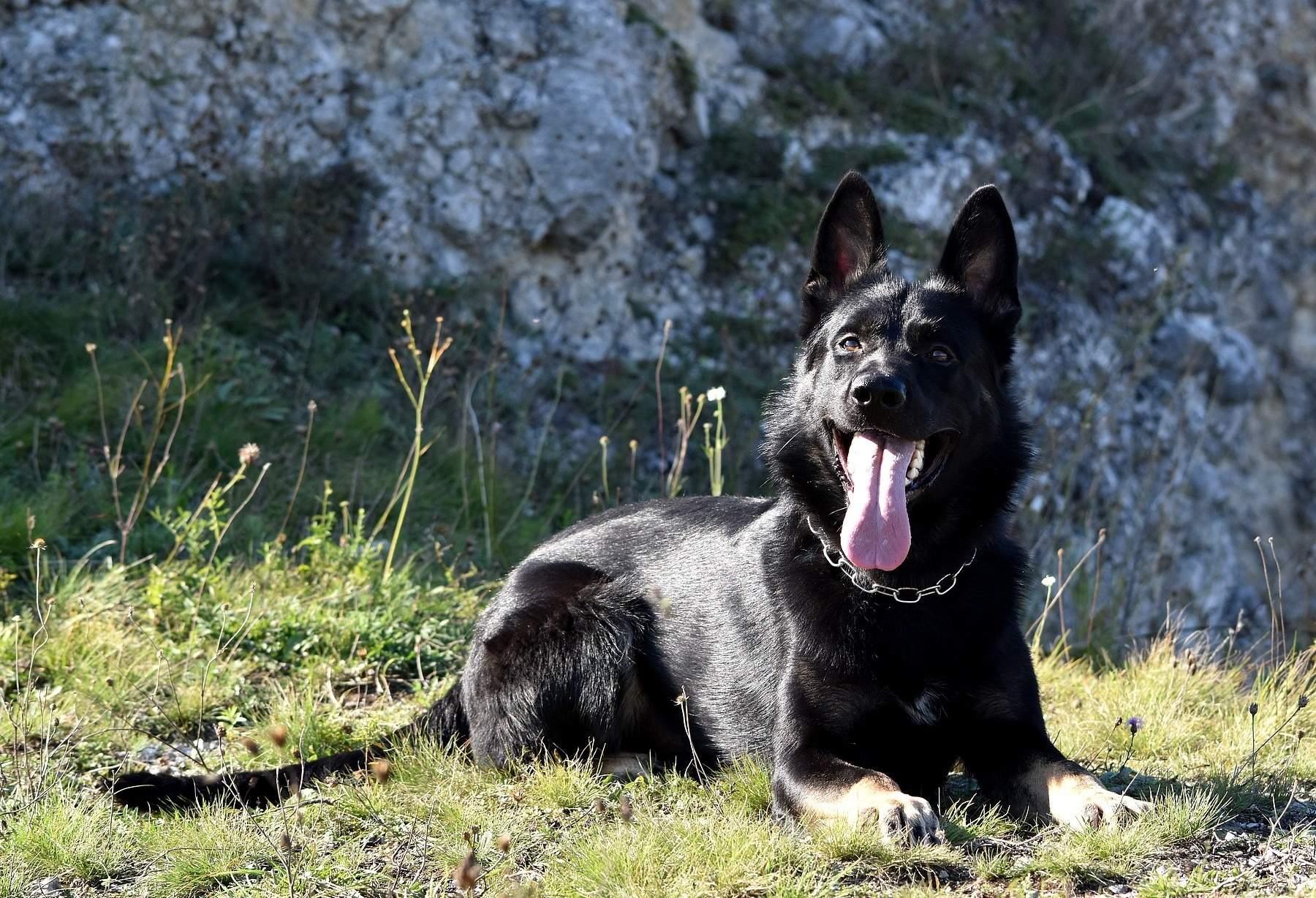 Bolle Janaka Grandson TOP Titled German Shepherd for Sale petworldglobal.com