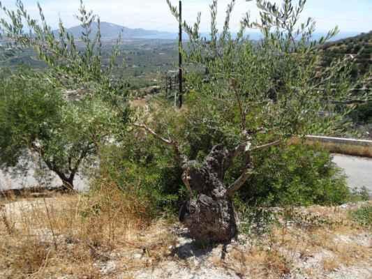 Olivovník - ze starého kmene vyrážejí nové výhonky