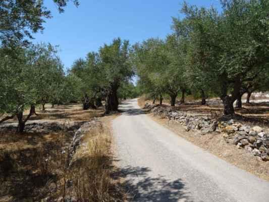 Olivové háje po obou stranách cesty