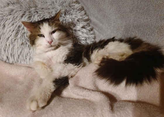 7.5.2021 - Ruprecht může do nového domova! Je to krásný kocour s delší srstí, k člověku mazlivý, ale z předcházejícího života na ulici si přinesl již své návyky a rád by si svůj revír ohlídal sám, takže hledáme domov v domku se zahradou, kde bude Ruprecht kočičím jedináčkem.