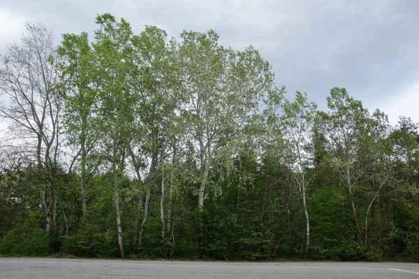 Bílé topoly už zelené - čtvrtek 6.5. a topoly u silnice