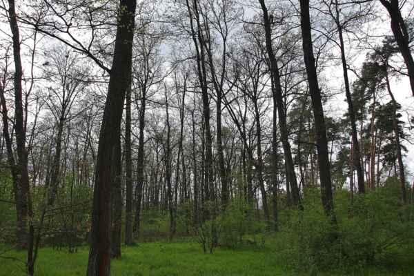 Les začátkem května - Horní patro stále nezelné (dubina)