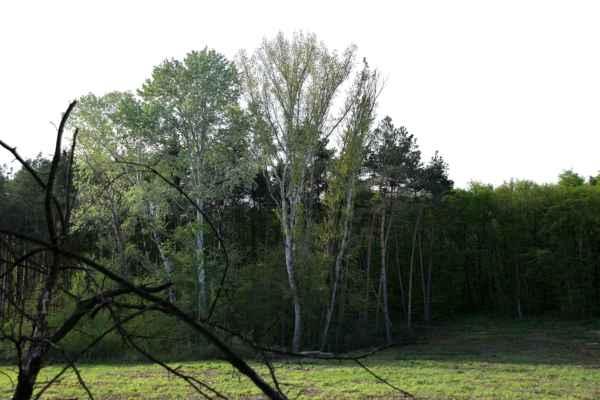 Ještě bílé topoly - Tyhle stromy se mi stále víc a víc líbí