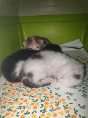11.6.2021 - Lolek a Bolek jsou milounká koťátka, dva kocourci, kteří hledají nový domov. Narodili se v jední firmě v Hruškách, kde žili dvě kočky s koťaty a kocourek. Firma se stěhovala pryč a majitelka objektu se o kočky odmítla postarat. Koťata první kočky už domov našla (jsme domluveni na jejich kastraci) a obě kočičky se zbývajícími koťaty i odrostlého kocourka si vzala oznamovatelka k sobě do dočasné péče, než se to nějak podaří vyřešit. Nakonec kočkám maminám, kocourkovi i jednomu kotěti dá domov trvalý a my HLEDÁME SPOLEČNÝ DOMOV pro zbývající koťata - kocourky Lolka a Bolka.