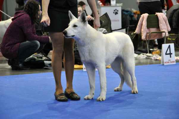 Bagheera King of Yukon - Female Junior class