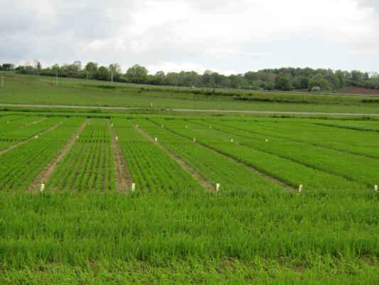 šlechtitelská políčka zřejmě podniku Agro Staňkov - Společnost Agro Staňkov a.s, se zabývá pěstováním obilovin, olejnin a plodin určených k výživě skotu. Podnik například pěstuje, Pšenici obecnou, Ječmen, Tritikale ( kříženec pšenice obecné a žita setého )