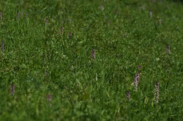 nedaleko úštěka právě kvetl vstavač osmahlý...